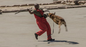 Hundeführer, der vom wilden Belgier Malinois während einer Demo angegriffen wird Lizenzfreie Stockfotografie