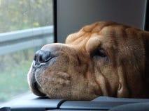 Hundefahrer Lizenzfreies Stockbild