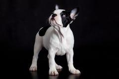 Hundefranzösische Bulldogge auf schwarzem Hintergrund Lizenzfreies Stockbild