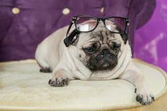 Hundefranzösische Bulldogge dick mit Falten liegt mit gebeugtem Kopf im blac Stockfotos