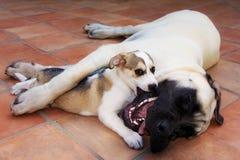 Hundefreund-kleine große Hundeumarmung, die Liebe spielt Stockbilder