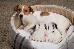 Hundefutter die Welpen, Jack Russell Terrier Lizenzfreie Stockfotografie