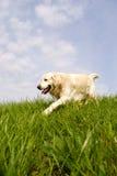 Hundegehen des goldenen Apportierhunds Stockfotografie