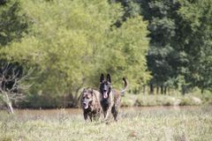Hundegehen nicht angeleint auf einem Gebiet Lizenzfreies Stockfoto
