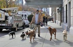 Hundegehender Service in Manhattan stockbilder