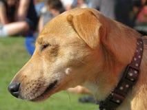 Hundegesichts-Abschluss oben stockbild