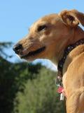 Hundegesichts-Abschluss oben stockbilder