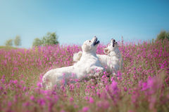 Hundegolden retriever in den Blumen Stockbild