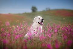 Hundegolden retriever in den Blumen Stockfotografie