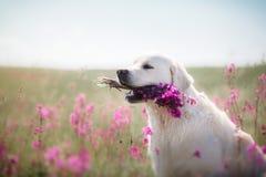 Hundegolden retriever in den Blumen Lizenzfreie Stockfotografie