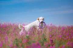 Hundegolden retriever in den Blumen Stockfotografie