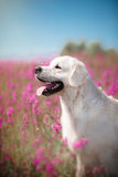 Hundegolden retriever in den Blumen Lizenzfreies Stockfoto