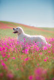 Hundegolden retriever in den Blumen Lizenzfreies Stockbild