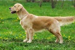 Hundegolden retriever-Stände Lizenzfreie Stockfotos