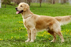 Hundegolden retriever-Stände Stockfoto