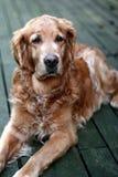Hundegoldener Apportierhund Stockbilder