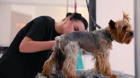 Hundehaar-Schnitt am Pflegensalon Groomer-Ausschnitt-Hund mit Trimmer stock footage