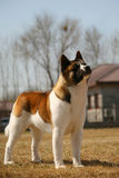 Hundehaustier Akita Lizenzfreie Stockfotografie