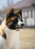 Hundehaustier Akita-Hund Stockbild