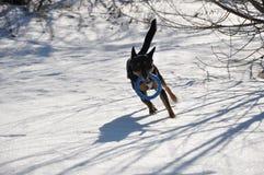 Hundehaustier, das auf Winterschnee läuft Lizenzfreie Stockfotografie