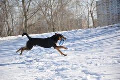 Hundehaustier, das auf Winterschnee läuft Stockfoto