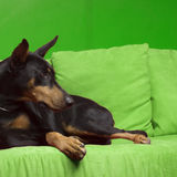 Hundehaustier DobermannPinscher Lizenzfreies Stockbild