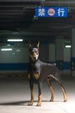 Hundehaustier DobermannPinscher Lizenzfreies Stockfoto
