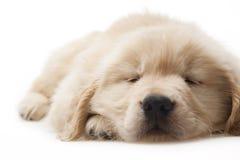Hundehaustier goldener Apportierhund Lizenzfreie Stockfotos