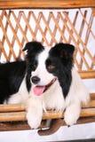 Hundehaustier Rand-Collie Lizenzfreie Stockfotos