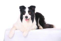 Hundehaustier Rand-Collie lizenzfreie stockfotografie