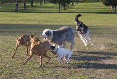 Hundeherumtollen stockbild