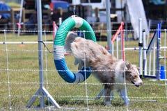 Hundehindernislaufrennen stockbild