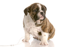Hundehören Stockfotografie