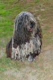 Hundeitalienerschäferhund Stockbild
