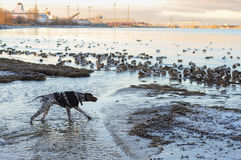 Hundejagden auf Enten lizenzfreie stockfotos