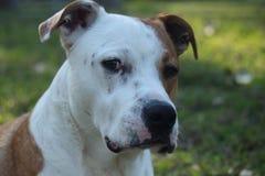 Hundekopf Stockfoto