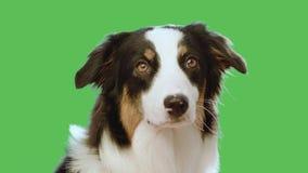 Hundekopf auf grünem Schirm stock footage