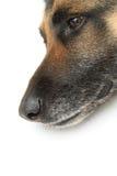 Hundekopf auf weißem Hintergrund lizenzfreie stockfotografie