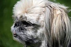 Hundekopf - shih-tzu Lizenzfreies Stockfoto