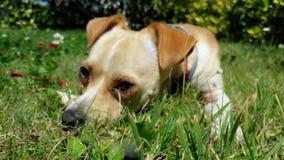 Hundeleben und Entspannung am Garten Lizenzfreie Stockfotografie
