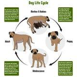 Hundelebenszyklus-Diagramm Stockfoto