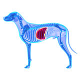 Hundeleber - Canis Lupus Familiaris Anatomy - lokalisiert auf Weiß stockfotografie