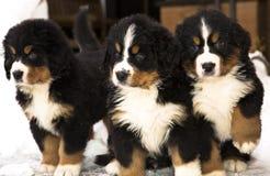 Hundemarionetten, die ernsthaft nach Bewegung überwachen Stockbilder