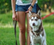 Hundemotivtraining Trainer gibt dem Schlittenhund eine Belohnung Stockfotos