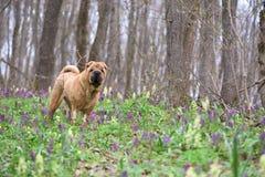 Hunden ?r en fullblods- Shar-Pei i tr?na blommar skogfj?dern arkivbilder