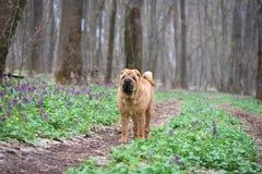 Hunden är en fullblods- Shar-Pei i träna röd gladlynt hund, vårskog med blommor royaltyfri fotografi