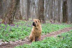Hunden är en fullblods- Shar-Pei i träna röd gladlynt hund, vårskog med blommor arkivfoto