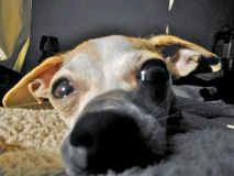 Hunden är förälskelse Fotografering för Bildbyråer