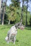 Hunden är flämtande It's om den varma sommardagen Selektivt fokusera Arkivfoto