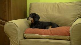 Hunden är på fåtöljen stock video